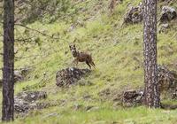 La prohibición de cazar lobos podría ser antes del 25-S