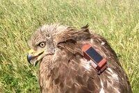 SEO/BirdLife marca un milano negro con GPS en Tordesillas