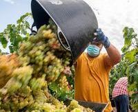 Rioja admitirá la entrada en bodega del 100% del rendimiento