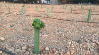 La región estudia el efecto del cambio climático en el vino