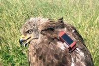 Seo Bird Life e Iberdrola marcan un milano antes de migrar