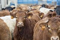 Menasalbas sancionará a las granjas por la contaminación