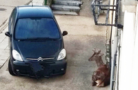 Cuatro ciervos con sarna en Palencia tras el brote de León