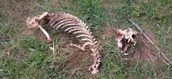 Aparecen los restos esqueletizados de un oso adulto en León