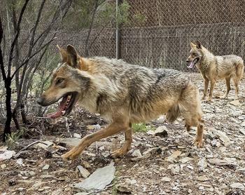 Primer día sin poder cazar lobos al norte del Duero