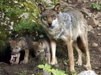 La protección del lobo indigna a los ganaderos serranos