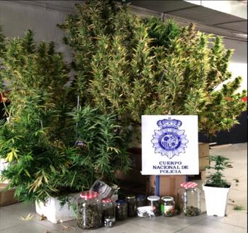 Detienen a un varón que cultivaba marihuana en la azotea