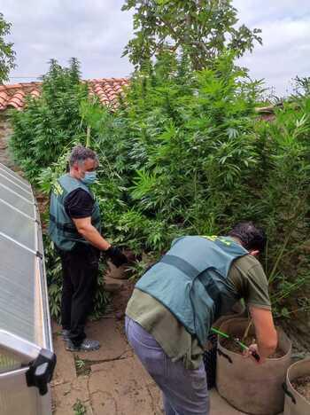 Descubiertos cultivando marihuana en su jardín de Gallinero