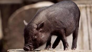 Un cerdo a la puerta de casa