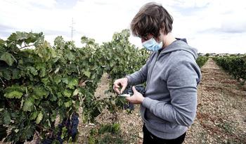La DO Arlanza prevé una cosecha de calidad pero menos uva